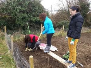 Planting raspberries at Kilkenny Allotments & Community Garden