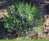Lavandula angustifolia. Autor: JBUTAD, Isabel Garcia-Cabral