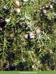 Juniperus oxycedrus. Autor: JBUTAD