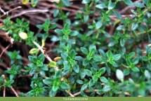 Thymus x citriodorus. Autor: JBUTAD