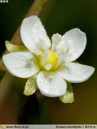 Drosera rotundifolia . Autor: MPorto