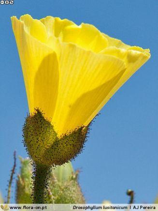 Drosophyllum lusitanicum. . Autor: AJPereira