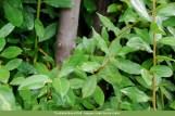 Loureiro (Laurus nobilis)