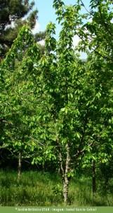 Cerejeira-brava (Prunus avium)