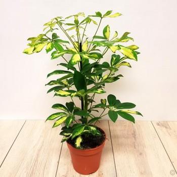 Schefflera Arboricola U0027Gold Capellau0027 Or Dwarf Umbrella Tree