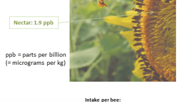 An image of a bee foraging on a sunflower with numbers showing that the estimated weekly intake of the neonic pesticide imidacloprid is in the range of the lethal dose.