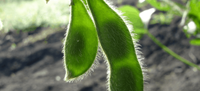 Two soybean (soya bean) pods hanging from a plant in a field.