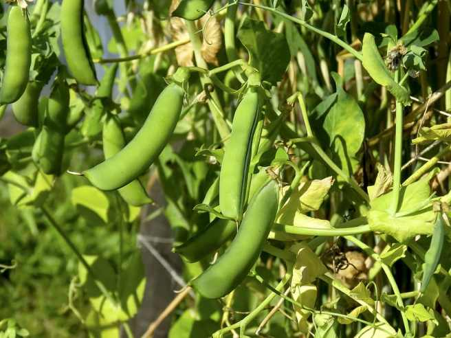Why are legumes banned in the Paleo Diet? The image shows green peas in their pods hanging from a plant.