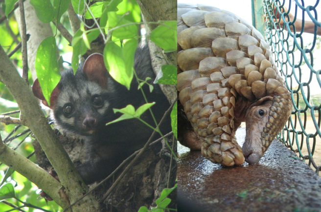 A civet (the animal that transmitted the SARS virus to humans) looking out from a tree on the left. On the right is a pangolin (the animal originally thought to have transmitted the virus that causes COVID-19 to humans) being released from a cage into the wild.