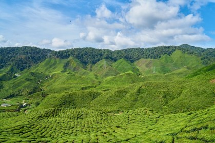 Green Tea Matcha Plantation