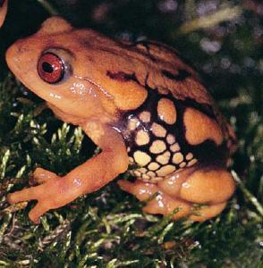 Resplendent Shrubfrog