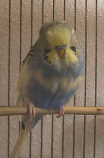 Parakeet Sickness