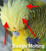 parakeet_molting