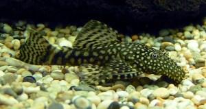 Zebra Pleco Catfish