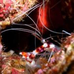 Coral Banded Shrimp – Stenopus Hispidus