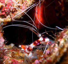 coral band shrimp
