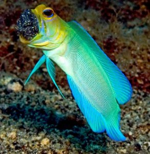 yellowhead_jawfish