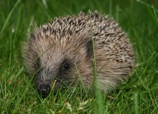 European_hedgehog_(Erinaceus_europaeus)