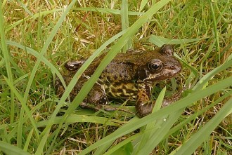Frog_in_a_suburban_garden_-_geograph.org.uk_-_922256