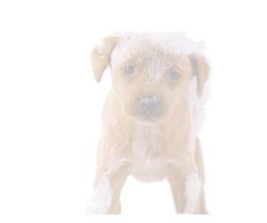 soapy dog