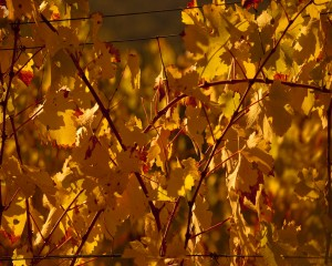 Fall Grape Leaves