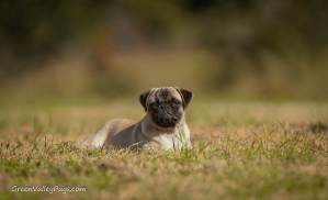 Pug laying in field.