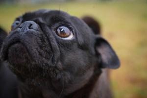 Black pug close up.