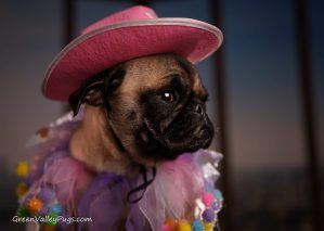 fawn pug in pink cowboy hat and collar