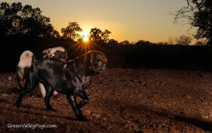 fawn pug and black pug with sunset in background.