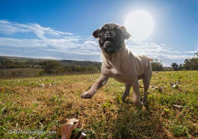 fawn pug in grass.