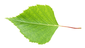 Leaf2-isolated