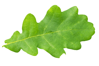 Oak-leaf-isolated
