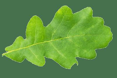 Oak-leaf-isolated