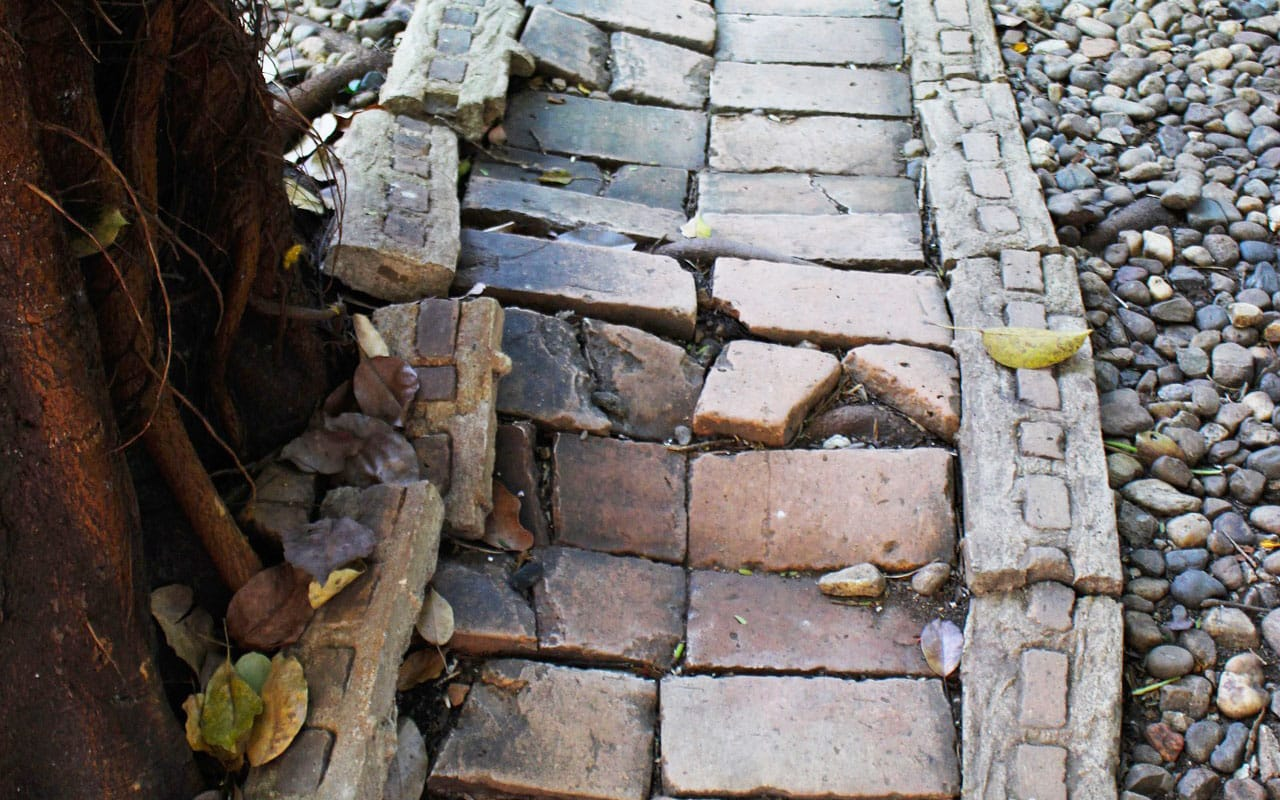 tree roots lifting up and breaking sidewalk and pavers