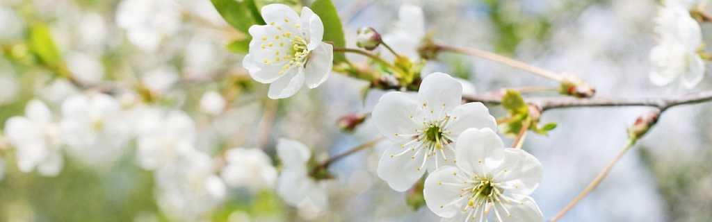 spring flowering trees for northern Virginia