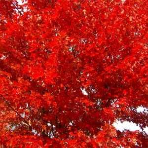 fall leaf color autumn blaze maple