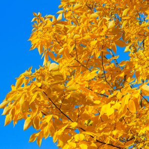 fall leaf color hickory