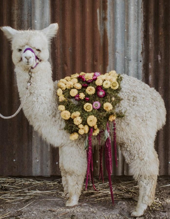 baby alpaca wedding