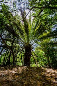 A large Canary palm tree