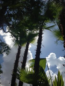 a large palm tree and the white cloudy sky with the sun behind the could