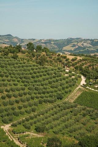 5nudo adopt olive tree