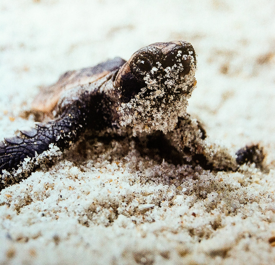 Sea turtles nest on the beach of MacArthur State Park in Florida