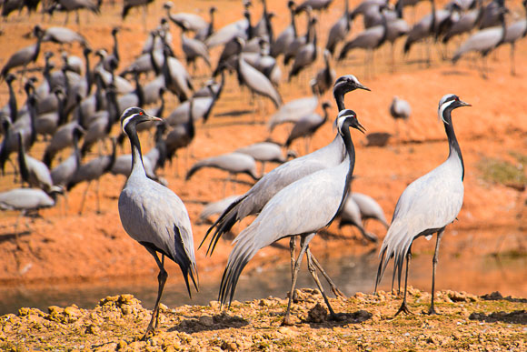 Demoiselle crane man of India