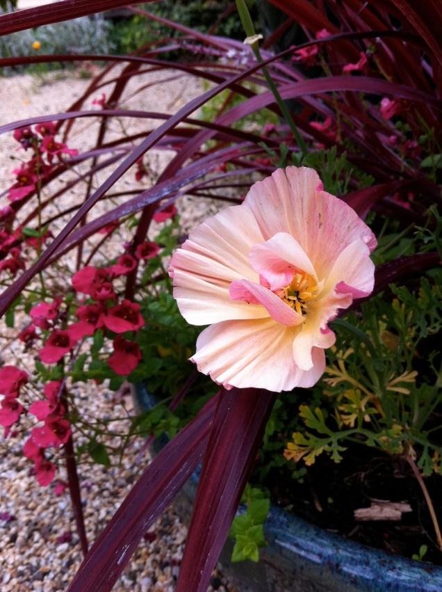 rose chiffon poppy