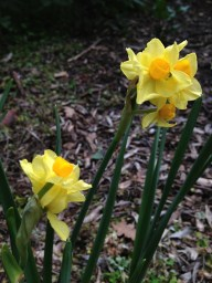 The first signs of spring at Filoli, which is widely regarded for the grand bulb displays later in the season.