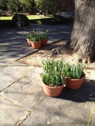 Filoli before the crowds: pots just beginning to bloom.