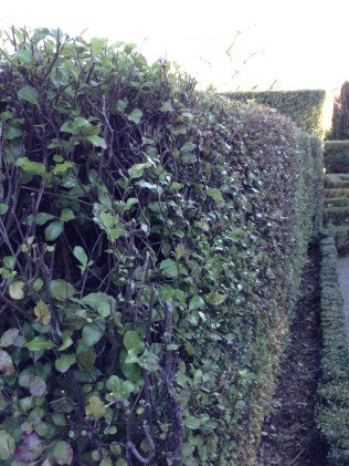 If you want to keep your pittosporum hedge to a specific size, this is what it should look like right now, bald edges included.