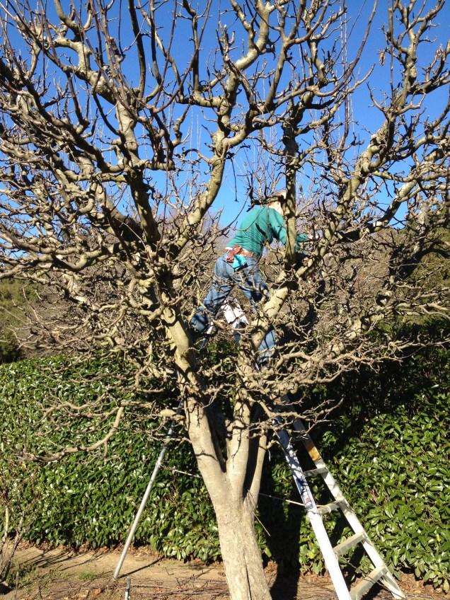 Fruit tree pruning at Filoli
