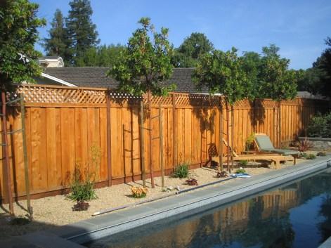 Arbutus 'Marina' along fence