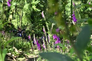 Foxgloves welcome you to our base camp in our ancient woodland